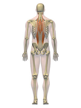 Anatomy of the Intrinsic Muscles of the Back, 3D Posterior Male