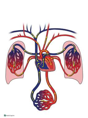 Diagram of Blood Flow in the Heart, Lungs and Body