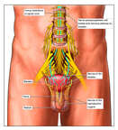 Nerve Supply of the Pelvic Region