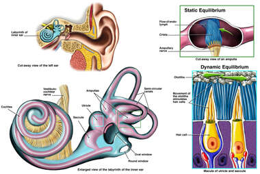 Normal Anatomy of the Inner Ear