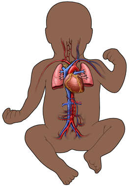 Circulatory System of Infant (Ethnic)