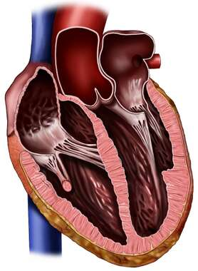 Heart, Anterior Cut-away View