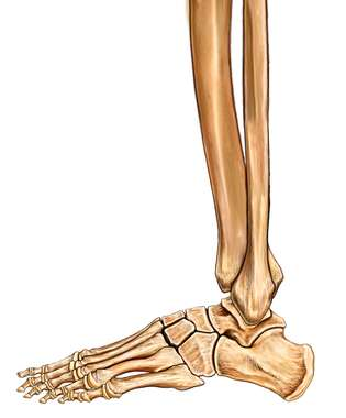 The Lower Leg and Foot: Lateral View