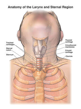 Anatomy of the Larynx and Sternal Region