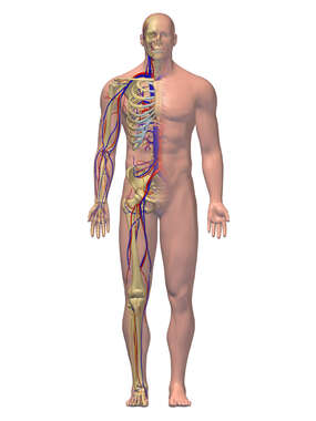 Skeletal System and CardioVascular System: 3D Male Figure
