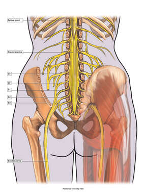 Anatomy of the Sciatic Nerve