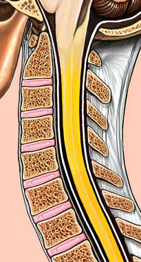 Spinal Cord and Cervical Spine: Cut-Away View