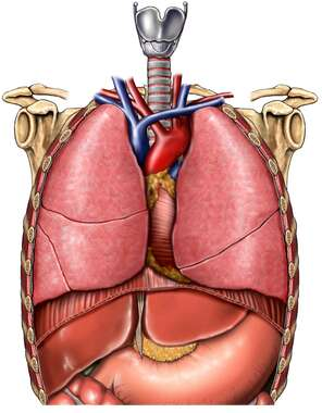 Organs of the Thorax, Anterior View