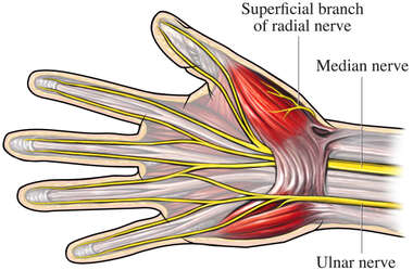 Nerves of the Hand and Wrist