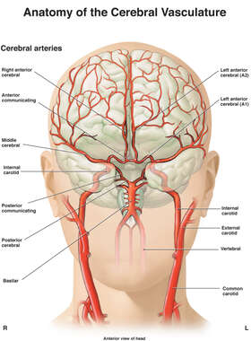Anatomy of Cerebral Vasculature