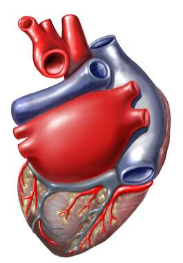 Heart: Posterior View