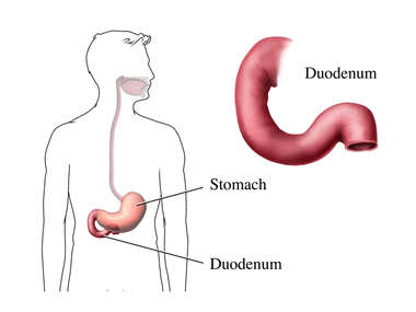 Duodenum and Stomach