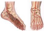 Arteries of the Foot - Plantar and Dorsal