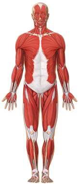 Anatomy of the Muscular System: Anterior View