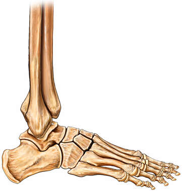 Foot and Ankle Bones, Lateral View