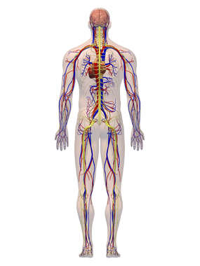 Anatomy of the Cardiovascular and Nervous Systems, 3D Posterior Male