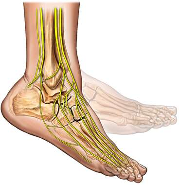 Foot Flexion with Bones and Nerves, Lateral View