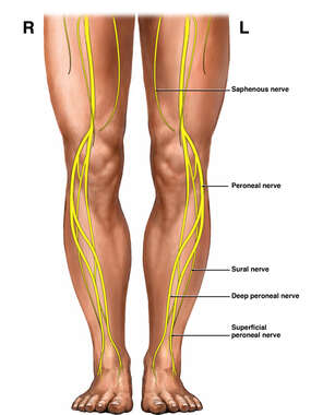 Nerves of the Lower Extremities