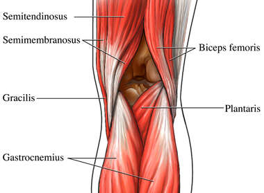 Posterior Muscles of Knee