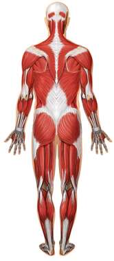 Anatomy of the Muscular System: Posterior View