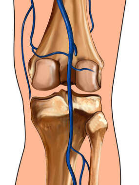Knee with Veins: Posterior View