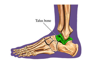 The Talus Bone