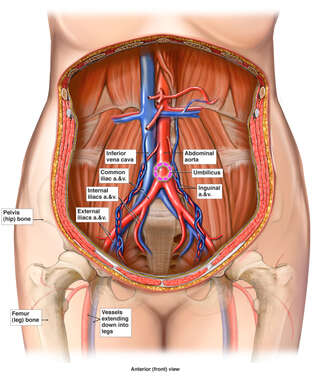 Anatomy of the Female Abdomen and Pelvis