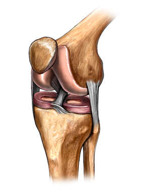 The Knee: Anterolateral View