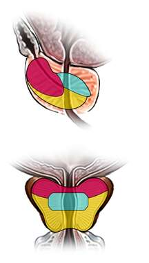 Zones of the Prostate Gland