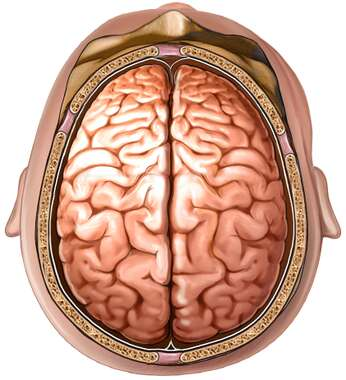 Brain, Superior View