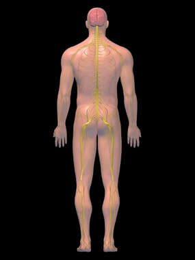 Anatomy of the Nervous System, 3D Posterior Male: Black Background