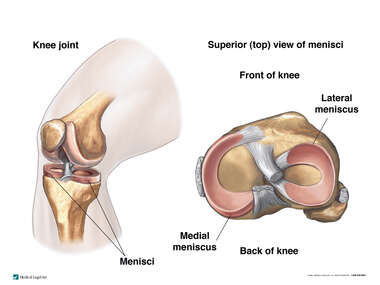 Normal Knee Joint Cartilages (Meniscus, Menisci)