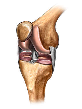 The Knee: Anteromedial View