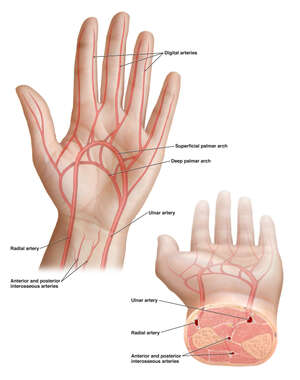 Arteries of the Hand and Wrist