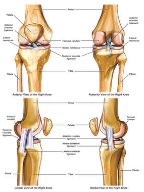 Anatomy of the Knee