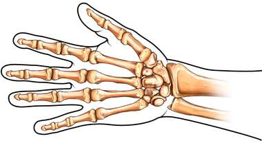Bones of the Hand: Palmar View