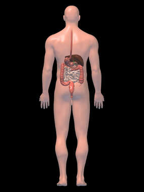 Anatomy of the Digestive  System, 3D Posterior Male-BW