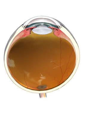 Sagittal Section of the Adult Eye