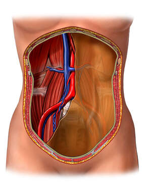 Posterior Abdominal Wall with Cut-away Posterior Peritoneum: Anterior View