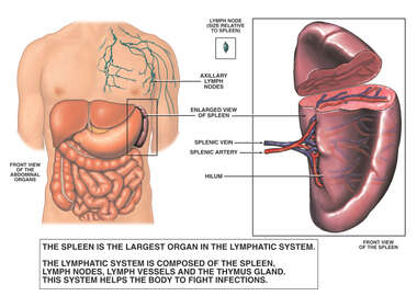 Anatomy of the Spleen