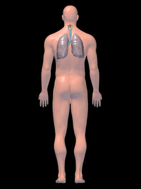 Anatomy of the Respiratory System, 3D Posterior Male-BW