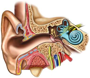 Anatomy of the Right Ear: Cross-Section
