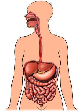 Organs of Digestion with Body Outline, Anterior View