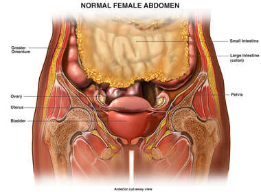 Normal Female Abdomen