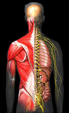 Male Torso with Muscles and Nerves: Posterior View