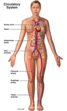 Anatomy of the Circulatory System - Female