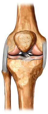 The Knee: Anterior View