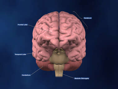 Anterior view of Brain with labels