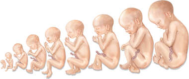 Progression of Fetus