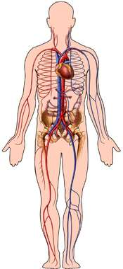 Male Figure Outline with Cardiovascular System, Anterior View